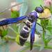 Pseudodynerus quadrisectus - Photo (c) amoorehouse, όλα τα δικαιώματα διατηρούνται