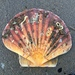 Great Scallop - Photo (c) elejo, all rights reserved