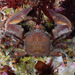 Flat Porcelain Crab - Photo (c) Gary McDonald, all rights reserved