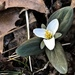 Snow Trillium - Photo (c) Jason Sullivan, all rights reserved