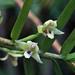 Maxillaria graminifolia - Photo (c) Peter Hoell, todos os direitos reservados