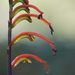 Chasmanthe bicolor - Photo (c) Tig, todos los derechos reservados