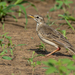 Long-legged Pipit - Photo (c) Rogério Ferreira, all rights reserved