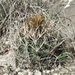 Shorthook Fishhook Cactus - Photo (c) Shaun Michael, some rights reserved (CC BY-NC)