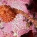 Boltenia villosa - Photo (c) Gary McDonald, todos los derechos reservados