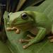 Ranoidea - Photo (c) Adam Brice, todos os direitos reservados