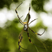 Golden Silk Spider - Photo (c) Elí García-Padilla, all rights reserved