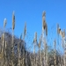 Giant Reed - Photo (c) Oluyomi Phillips, all rights reserved