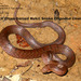 Black Cross-barred Kukri Snake - Photo (c) rajib, all rights reserved, uploaded by Rajib Rudra Tariang