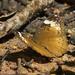 Bebearia mardania - Photo (c) kristian, todos los derechos reservados