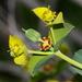 Euphorbia rigida - Photo (c) Jay Keller, todos los derechos reservados, uploaded by Jay L. Keller