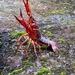 Procambarus - Photo (c) pitrusque, all rights reserved