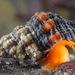 Hesperaptyxis luteopictus - Photo (c) Gary McDonald, todos los derechos reservados