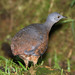 Little Tinamou - Photo (c) Peter Hoell, all rights reserved