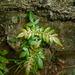 Weinmannia pubescens - Photo (c) damonsalveo, todos los derechos reservados, uploaded by Daniel A. Monsalve Ortiz