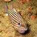 Cardinalfishes - Photo (c) tamsynmann, all rights reserved
