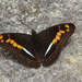 Adelpha olynthia - Photo (c) Peter Hoell, all rights reserved
