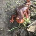 Pacific Newts - Photo (c) Ian Taylor, all rights reserved
