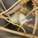 Cuscuta californica papillosa - Photo (c) Jay Keller, כל הזכויות שמורות, uploaded by Jay L. Keller