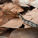 Coelognathus radiatus - Photo (c) nomascus, כל הזכויות שמורות, uploaded by Thomas Calame