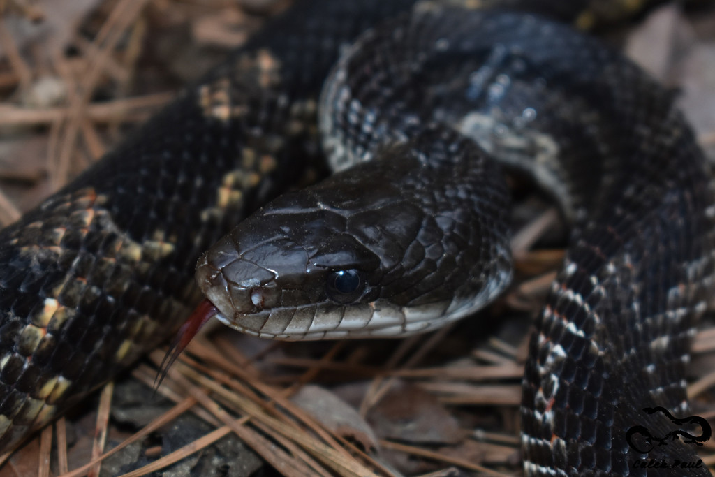 Western Rat Snake A Guide To Snakes Of Southeast Texas Inaturalist