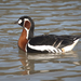 Red-breasted Goose - Photo (c) Kentish Plumber, some rights reserved (CC BY-NC-ND)