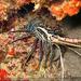 Panulirus versicolor - Photo (c) tamsynmann, todos los derechos reservados