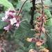 Ribes malvaceum - Photo (c) carmadis, todos los derechos reservados