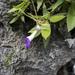 Primulina drakei - Photo (c) earthknight, todos los derechos reservados