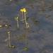 Utricularia aurea - Photo (c) earthknight, todos los derechos reservados