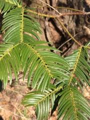 Cephalotaxus harringtonia image