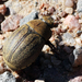 brown scarab beetle - Photo (c) M. Barton, all rights reserved, uploaded by M.