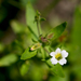 Gratiola neglecta - Photo (c) Eric Hunt, όλα τα δικαιώματα διατηρούνται