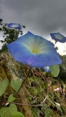 Ipomoea tricolor image