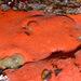 Clathria pennata - Photo (c) Gary McDonald, todos los derechos reservados