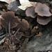 Gymnopus - Photo (c) squirrel_lips, όλα τα δικαιώματα διατηρούνται