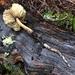Redwood Rooter - Photo (c) Tim Teske, all rights reserved
