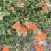 Sphaeralcea lindheimeri - Photo (c) heronway, כל הזכויות שמורות