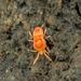 Neothrombiidae - Photo (c) Alice Abela, todos os direitos reservados