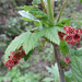 Rock Redcurrant - Photo (c) Tig, all rights reserved