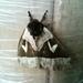 Dirphia santboyacensis - Photo (c) Fercho Vasquez, todos los derechos reservados