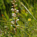 Round-leaved Wintergreen - Photo (c) Tig, all rights reserved