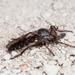 Brachyrhopalinae - Photo (c) Alice Abela, todos los derechos reservados