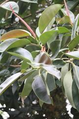 Ficus elastica image