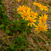Rocky Mountain Groundsel - Photo (c) faerthen, all rights reserved, uploaded by faerthen