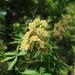 Aesculus glabra - Photo (c) Ryan McDaniel, todos os direitos reservados