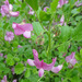 Round-leaved Restharrow - Photo (c) Tig, all rights reserved