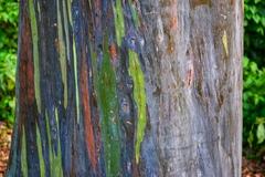 Eucalyptus deglupta image