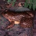 Corrugated water frog - Photo (c) herpguy, all rights reserved, uploaded by Paul Freed