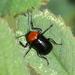 Cryptocephalus sanguinicollis - Photo (c) Jay L. Keller, todos los derechos reservados